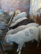 Mini sürü gebe koyun, koç, toklu, kuzu, satılık