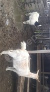 2 adet ağır gebe keçi sagiplendirilcektir