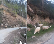 Damızlık 17 koyun ve 6  kuzu, 1 koç orjinal merinis sakız ırkı