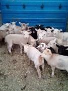 19 ad. France savrole melezi emlik kuzu