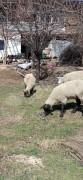4 dişi 1 erkek soffolk koyunlar