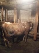 Kurbanlık tosun olurlu ufak kesim 120 /130 kilo
