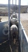 Koyun keçi aşı yolu