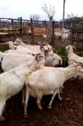 10 adet keçi 7 sağılır 3 tane ağır gebe