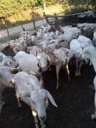 toplam 38 keçi sahiplendirilecek 34 tane oğlak var