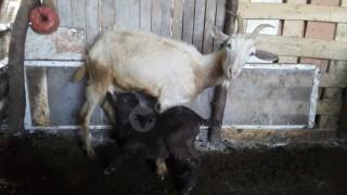 Satılık 4 adet ilkine oğlak lı keçi