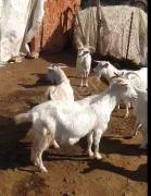 8 Adet İnci Saanen Keçisi 4 ü Oğlaklı 5 Oğlak