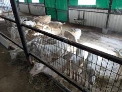 Çiftliğimizde 20 adet saanen süt keçisi bulunmaktadır