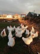 Beyaz Australorp kuluçkalık yumurta sahiplendirmeye devam ediyoruz.