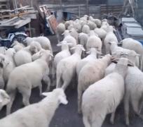 41 tane süt kuzu