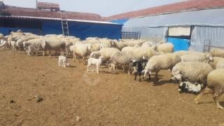  76 Adet Damızlık Koyun yanında 47 Adet Kuzusu ile satılık