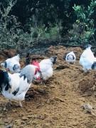 Suseks austuralorp civcivleri sahiplendirilecektir