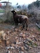 Kısır koyun  kesime hazır damızlık da