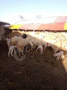 9 kuzulu koyun 1 adet gebe koyun