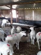SATILIK 25 adet Tahirova dişi damızlık kuzu
