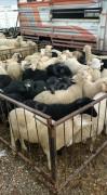 38 adet erkek kuzu pırıl pırıl kurbanlık