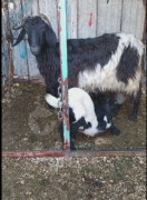 İkiz oglakli süt keçisi