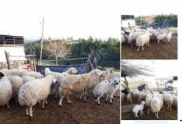 25 tane kuzulu gebe koyun