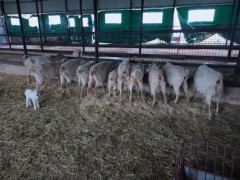10 adet saanen süt keçisi ve 3 oğlak  satılık
