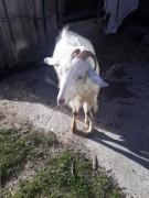 Keçilerimiz satılıktır