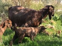 İki erkek oğlaklı sütlü üçünçü doğumlu keçi