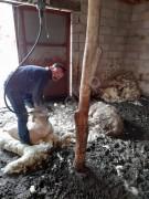 Koyun kırkımı yapılır ( temiz garantili işçilik )