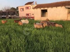 Satılık 4 damızlık keçi, 3 Eerkek çebiç