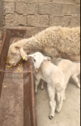 Ekiz guzulu mernos kırması goyun yavrular erkektir