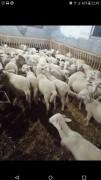 57 koyun 1 koç koyunlar kart 24 kuzuladı