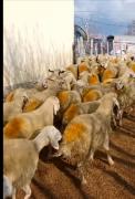 105 adet süt kuzu 85 erkek 20 dişi