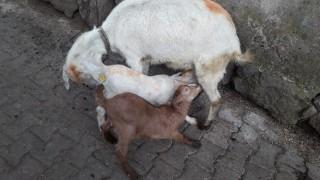 Satılık Keçi 2 adet oğlaklı
