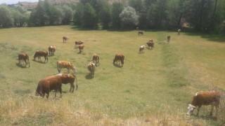 Satılık inek ve düve hepsi gebe ev malı bingöl genç