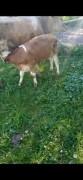 Satılık doğurmuş erkek bizavli inek