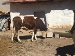 Simental inek , erkek danası , kurbanlık düve