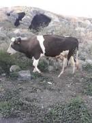 Kurbanlık inek