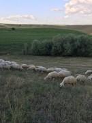 Satılık 90 adet koyun 40 toklu