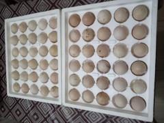 Bresse Kuluçkalık Yumurta Ücretsiz Kargo