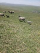 Satılık Romanov cinsi koyun ve kuzular. Hemşin cinsi koyun ve kuzu da mevcuttur.