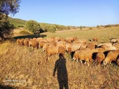 Satılık sürü Karayaka 40 koyun 20 erkek toklu 22 dişi