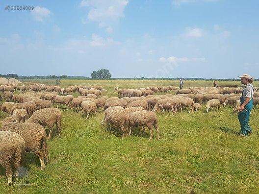 İthal Koyun istekleriniz için arayınız (Çiftliğimizde teslim)