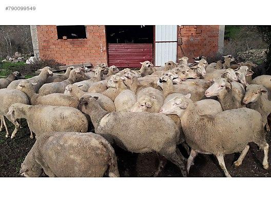 Damızlık krediye uygun 90koyun 50 kuzu