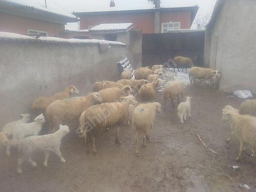 28 kuzulu damızlık Koyun